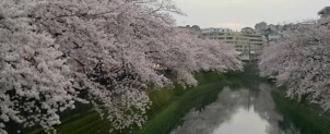 弘明寺桜1